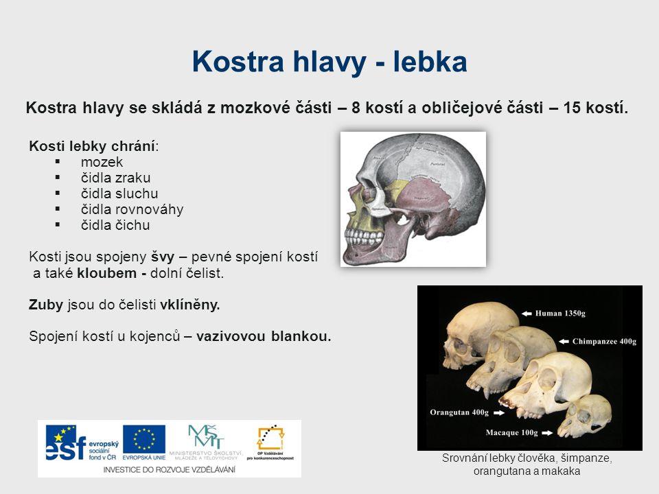 Kostra hlavy - lebka Kosti lebky chrání:  mozek  čidla zraku  čidla sluchu  čidla rovnováhy  čidla čichu Kosti jsou spojeny švy – pevné spojení kostí a také kloubem - dolní čelist.