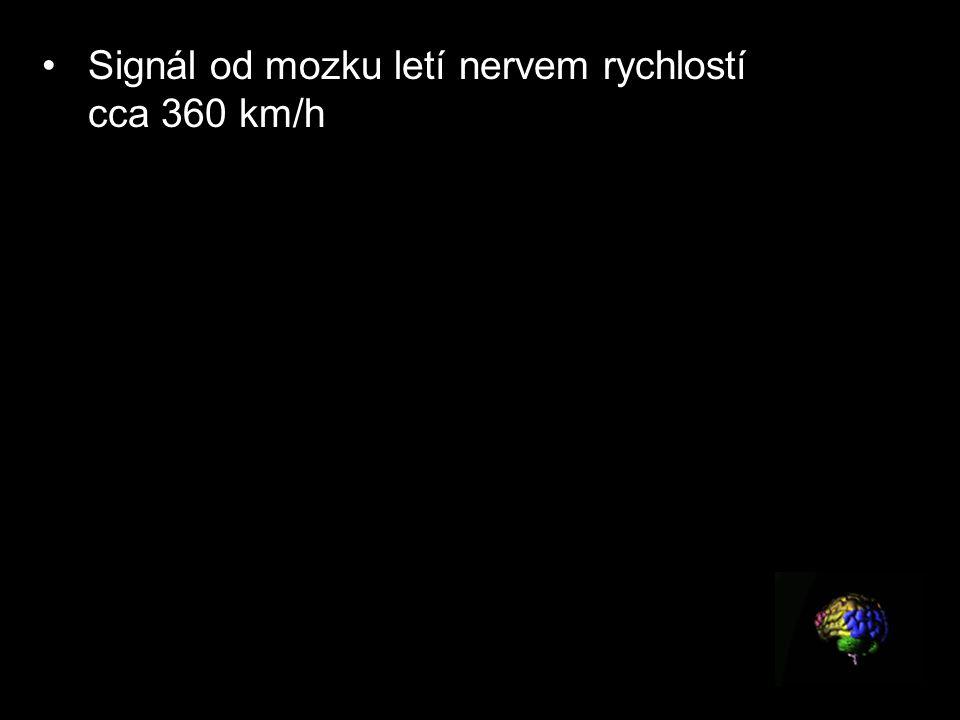 Signál od mozku letí nervem rychlostí cca 360 km/h Signál od mozku letí nervem rychlostí cca 360 km/hod. Z mozku do prstů nohou tak dorazí za méně než