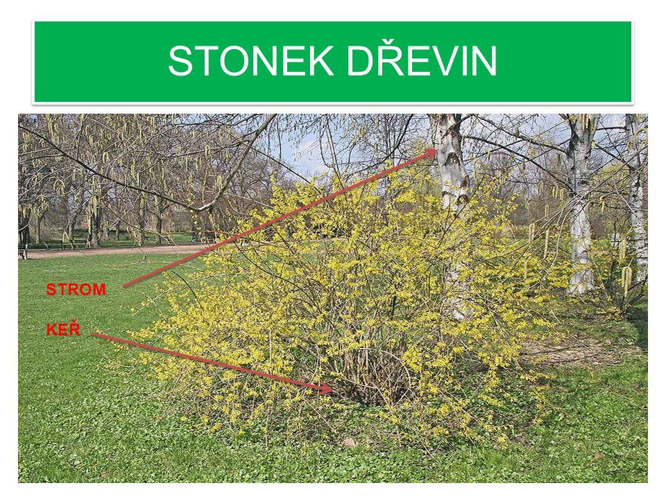 STONEK DŘEVIN ZDŘEVNATĚNÝ STONEK = dřeň, dřevo, lýko, kůra 1. KEŘE- větví se u země 2. STROMY- větví se na kmenu PLETIVO, TVOŘÍCÍ LETOKRUHY