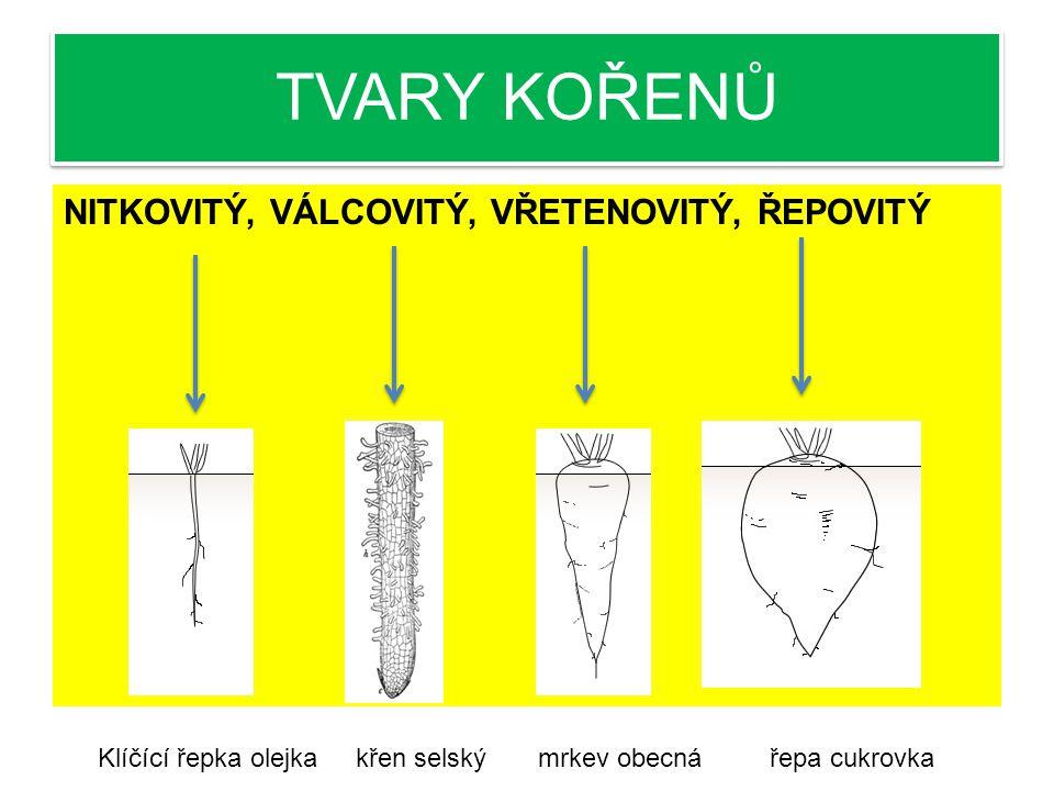 TVARY KOŘENŮ NITKOVITÝ, VÁLCOVITÝ, VŘETENOVITÝ, ŘEPOVITÝ Klíčící řepka olejka křen selský mrkev obecná řepa cukrovka