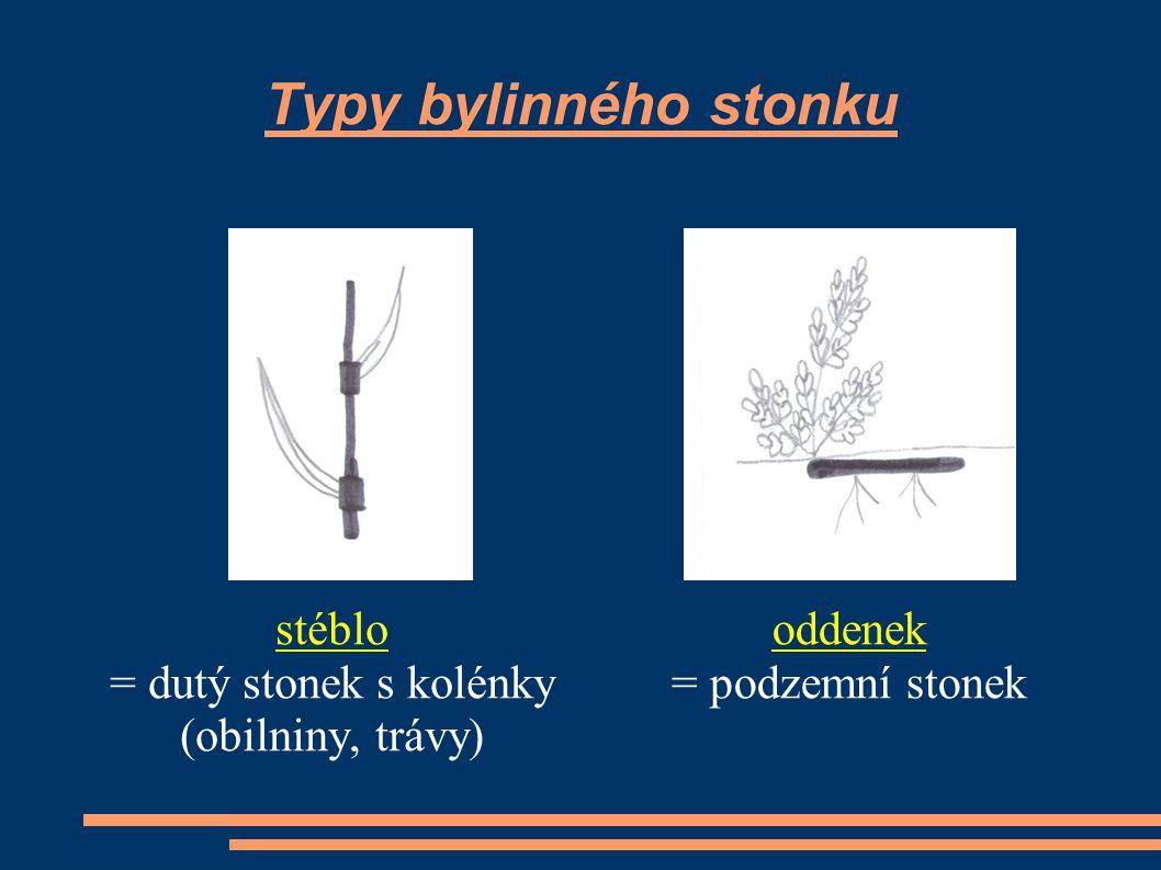 Typy bylinného stonku stéblo = dutý stonek s kolénky (obilniny, trávy) oddenek = podzemní stonek