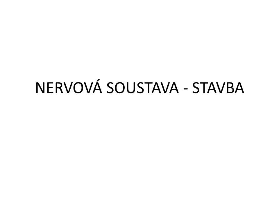 NERVOVÁ SOUSTAVA - STAVBA
