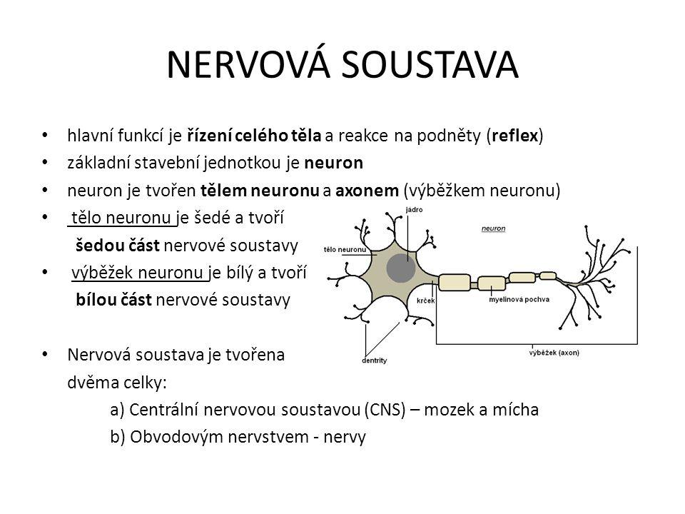 NERVOVÁ SOUSTAVA hlavní funkcí je řízení celého těla a reakce na podněty (reflex) základní stavební jednotkou je neuron neuron je tvořen tělem neuronu