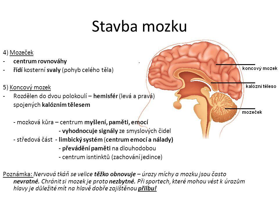 Stavba mozku 4) Mozeček -centrum rovnováhy -řídí kosterní svaly (pohyb celého těla) 5) Koncový mozek -Rozdělen do dvou polokoulí – hemisfér (levá a pr