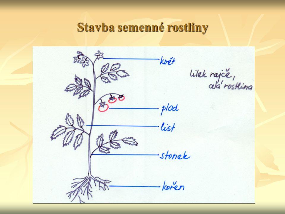 Kořen podzemní část rostliny podzemní část rostliny soubor kořenů jedné rostliny = kořenová soustava soubor kořenů jedné rostliny = kořenová soustava typy kořenových soustav: typy kořenových soustav: 1.