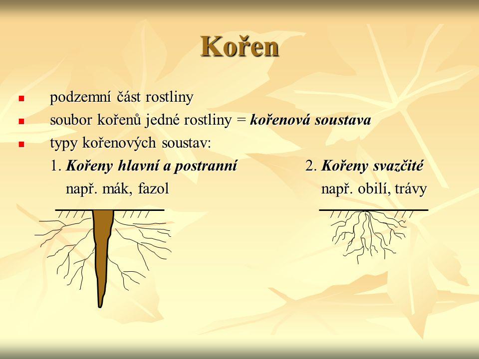 Kořen podzemní část rostliny podzemní část rostliny soubor kořenů jedné rostliny = kořenová soustava soubor kořenů jedné rostliny = kořenová soustava