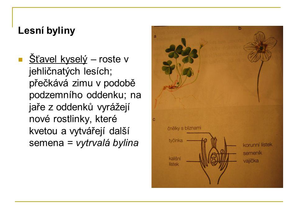 Lesní byliny Šťavel kyselý – roste v jehličnatých lesích; přečkává zimu v podobě podzemního oddenku; na jaře z oddenků vyrážejí nové rostlinky, které kvetou a vytvářejí další semena = vytrvalá bylina
