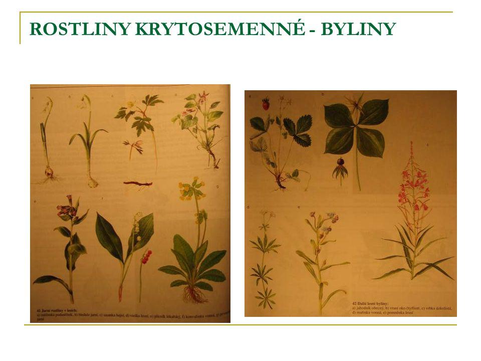 ROSTLINY KRYTOSEMENNÉ - BYLINY