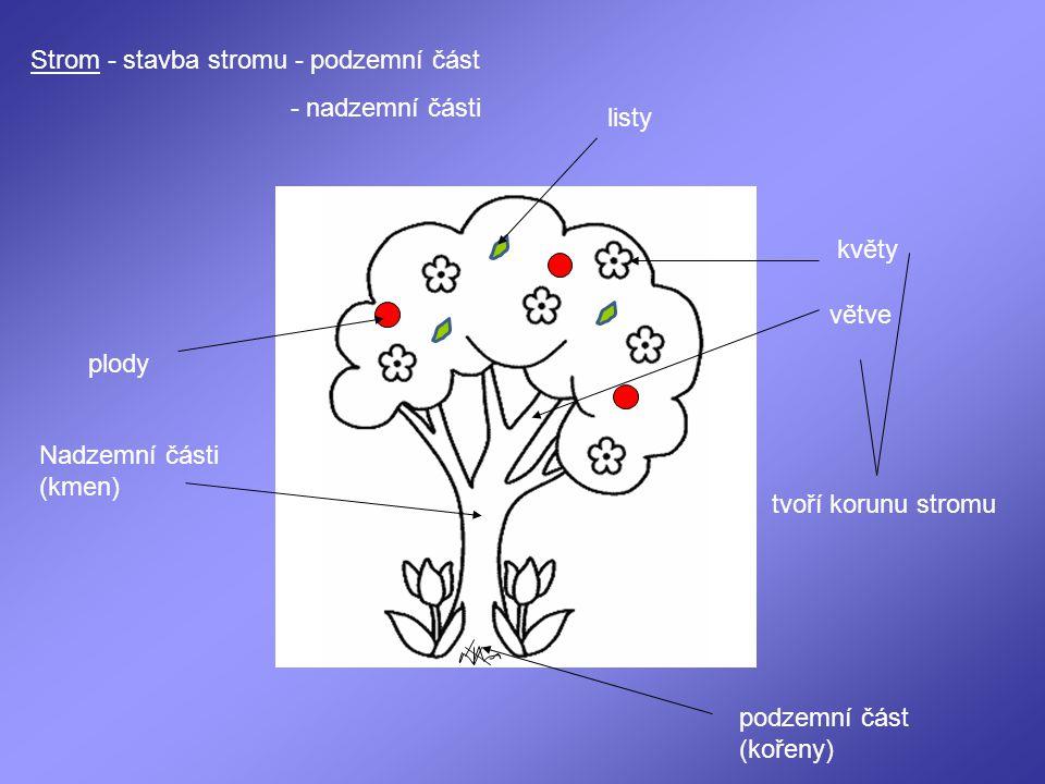 Strom - stavba stromu - podzemní část - nadzemní části listy plody Nadzemní části (kmen) podzemní část (kořeny) větve květy tvoří korunu stromu