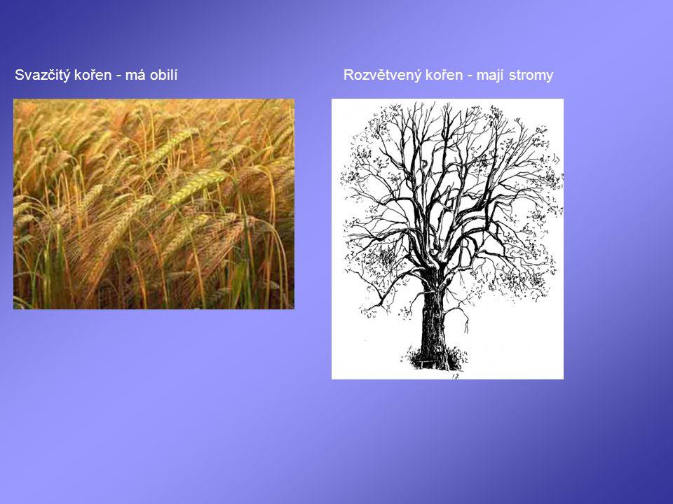 Svazčitý kořen - má obilíRozvětvený kořen - mají stromy