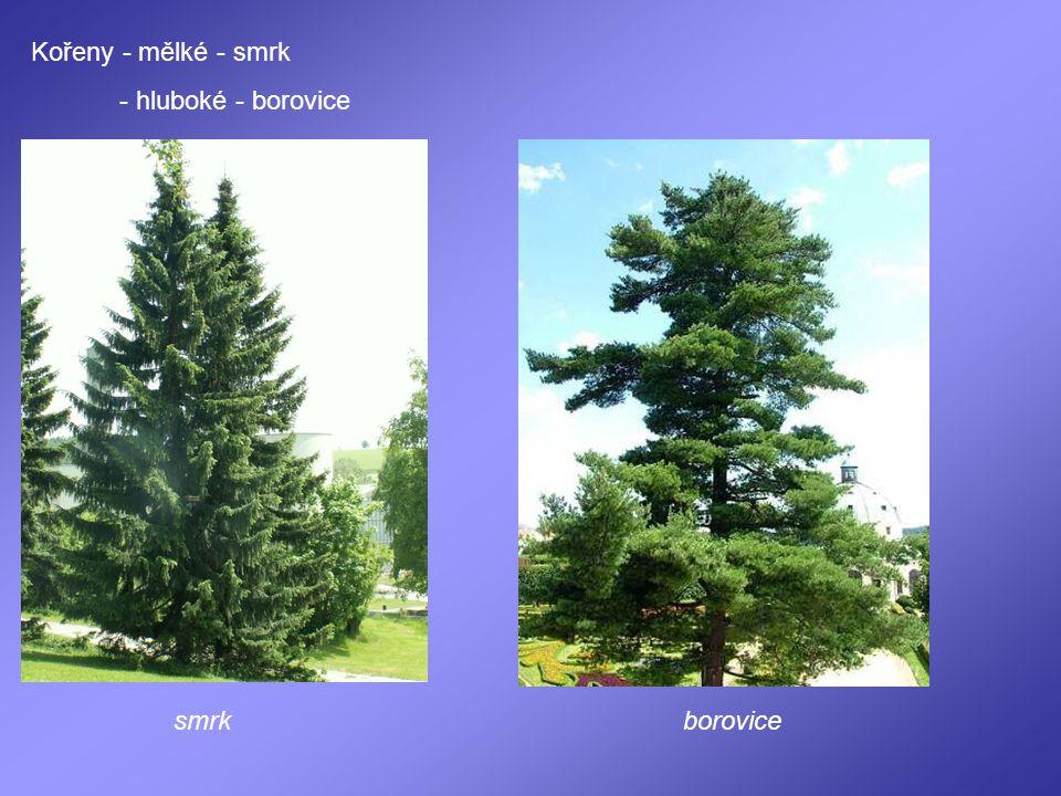 Kořeny - mělké - smrk - hluboké - borovice smrkborovice