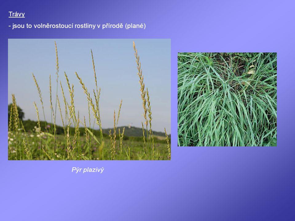 Trávy - jsou to volněrostoucí rostliny v přírodě (plané) Pýr plazivý