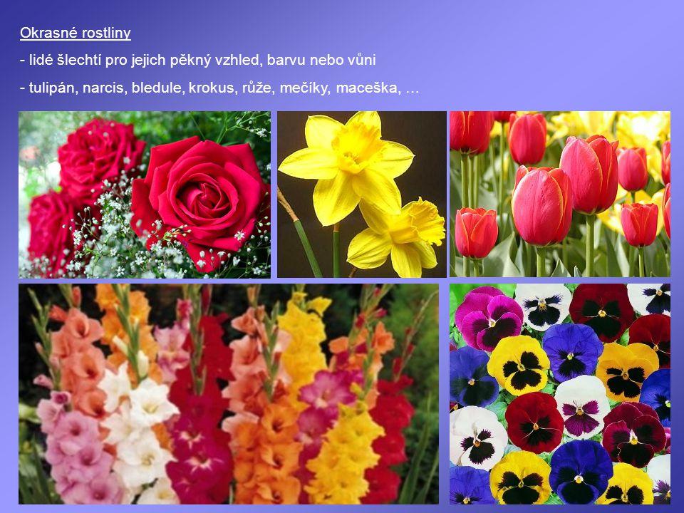 Okrasné rostliny - lidé šlechtí pro jejich pěkný vzhled, barvu nebo vůni - tulipán, narcis, bledule, krokus, růže, mečíky, maceška, …