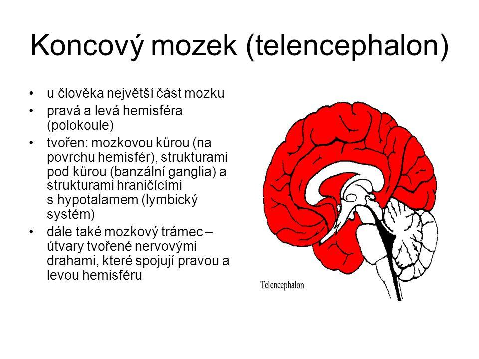Koncový mozek (telencephalon) u člověka největší část mozku pravá a levá hemisféra (polokoule) tvořen: mozkovou kůrou (na povrchu hemisfér), strukturami pod kůrou (banzální ganglia) a strukturami hraničícími s hypotalamem (lymbický systém) dále také mozkový trámec – útvary tvořené nervovými drahami, které spojují pravou a levou hemisféru