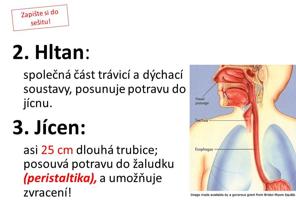 2. Hltan: společná část trávicí a dýchací soustavy, posunuje potravu do jícnu. 3. Jícen: asi 25 cm dlouhá trubice; posouvá potravu do žaludku (perista