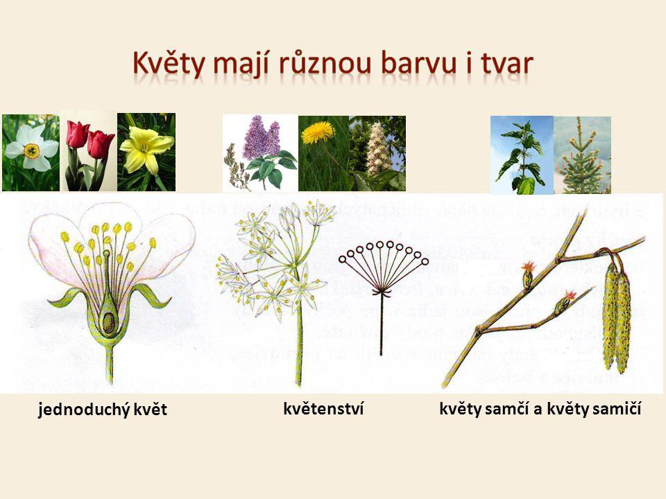 jednoduchý květ květenství květy samčí a květy samičí