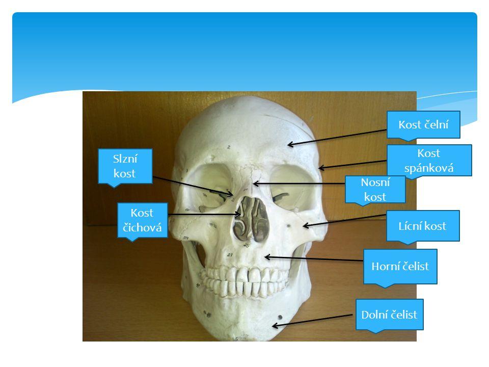 Kost čelní Kost spánková Nosní kost Lícní kost Horní čelist Dolní čelist Slzní kost Kost čichová