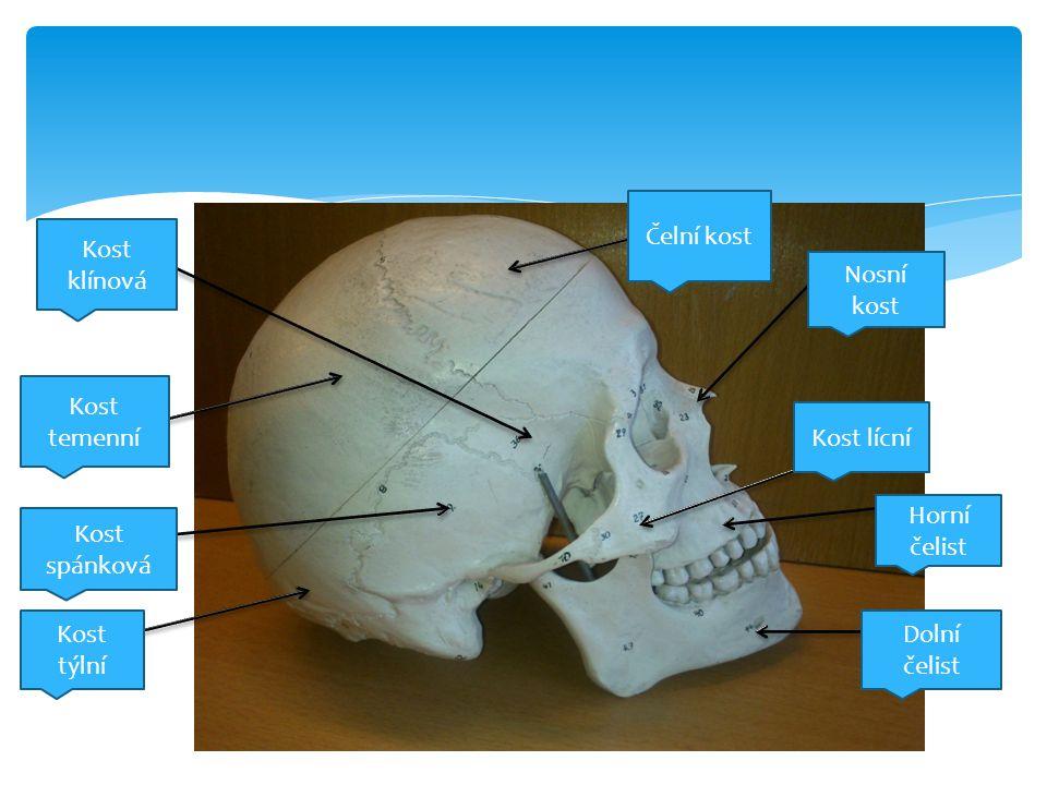 Čelní kost Nosní kost Kost lícní Horní čelist Dolní čelist Kost týlní Kost spánková Kost temenní Kost klínová