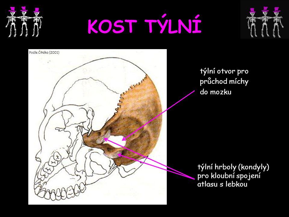 KOST TÝLNÍ týlní otvor pro průchod míchy do mozku Podle Čiháka (2001) týlní hrboly (kondyly) pro kloubní spojení atlasu s lebkou