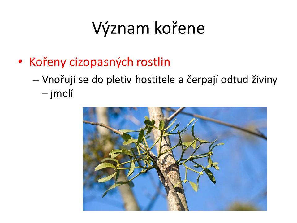 Význam kořene Kořeny cizopasných rostlin – Vnořují se do pletiv hostitele a čerpají odtud živiny – jmelí
