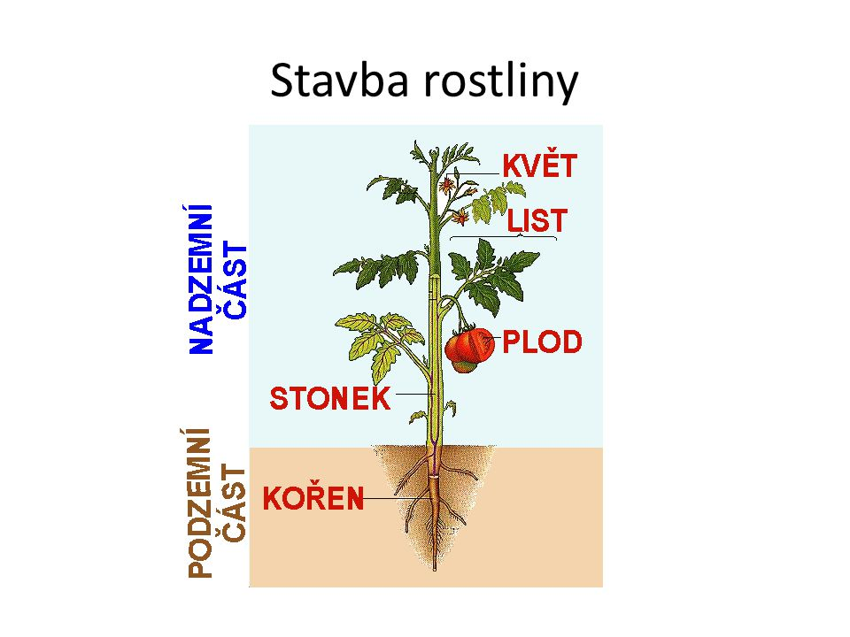 Stavba rostliny