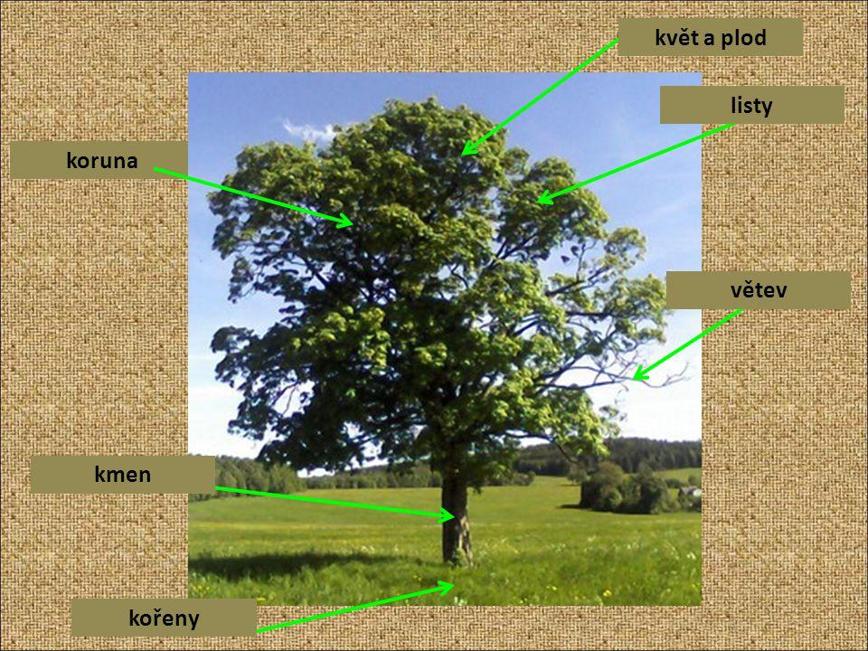 koruna květ a plod listy větev kmen kořeny