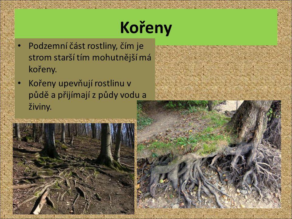 Kořeny Podzemní část rostliny, čím je strom starší tím mohutnější má kořeny. Kořeny upevňují rostlinu v půdě a přijímají z půdy vodu a živiny.