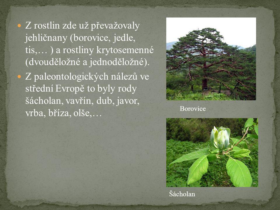 Z rostlin zde už převažovaly jehličnany (borovice, jedle, tis,… ) a rostliny krytosemenné (dvouděložné a jednoděložné).