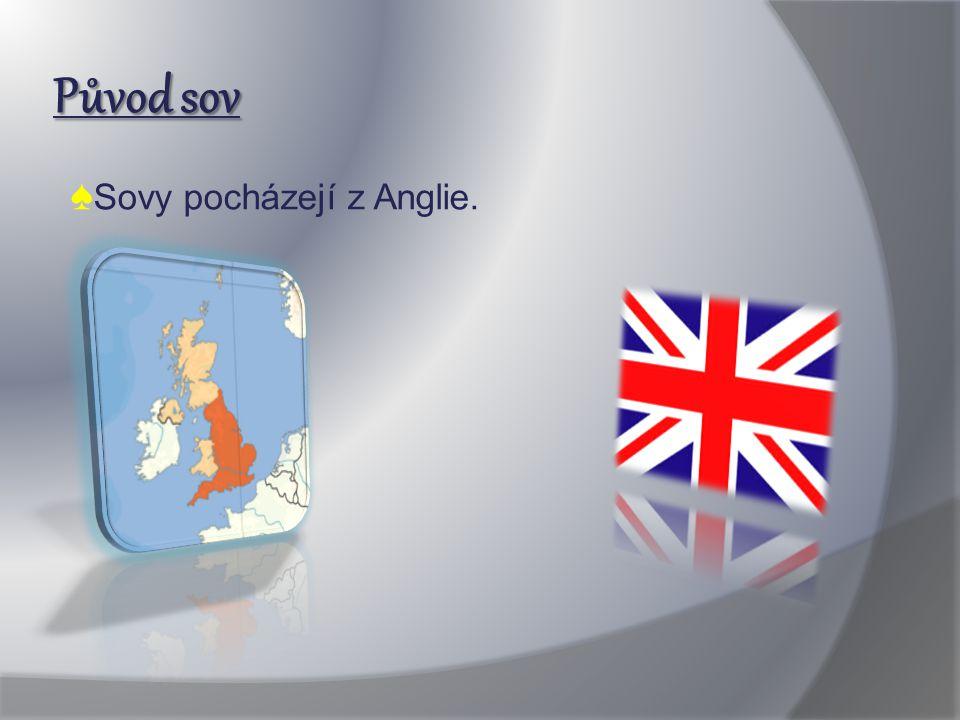 Původ sov ♠ Sovy pocházejí z Anglie.