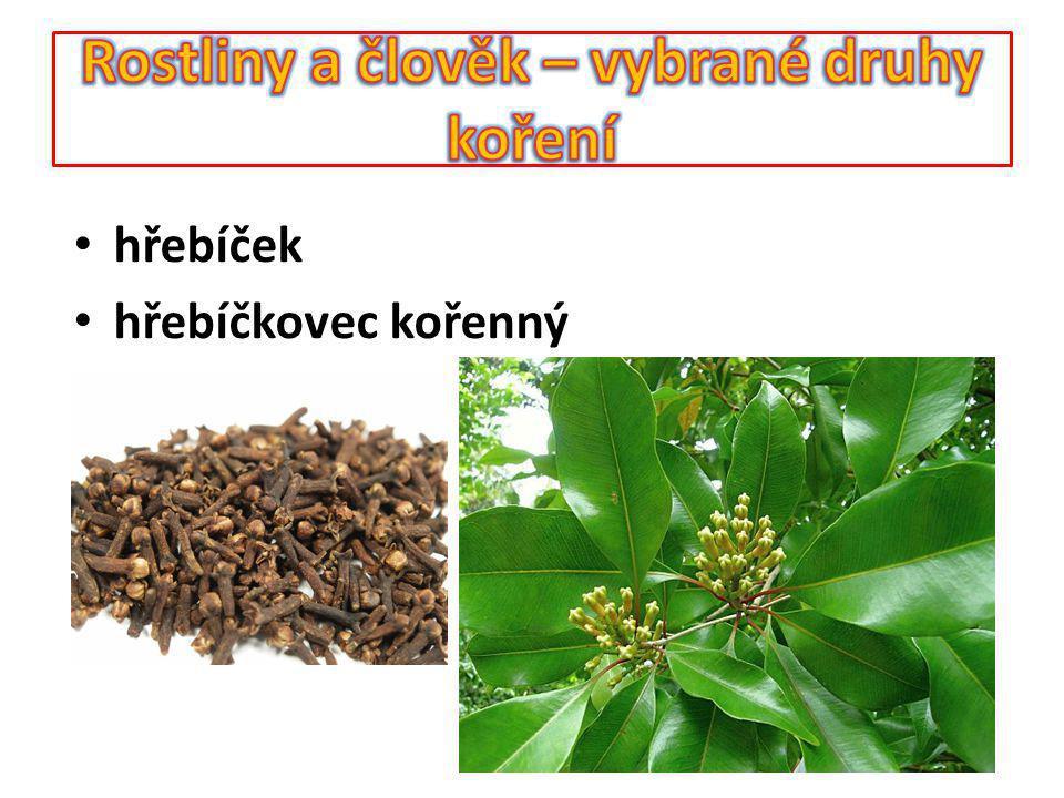 Koření – lékořice Rostlina poskytující koření - lékořice lysá Využívaná část - kořen