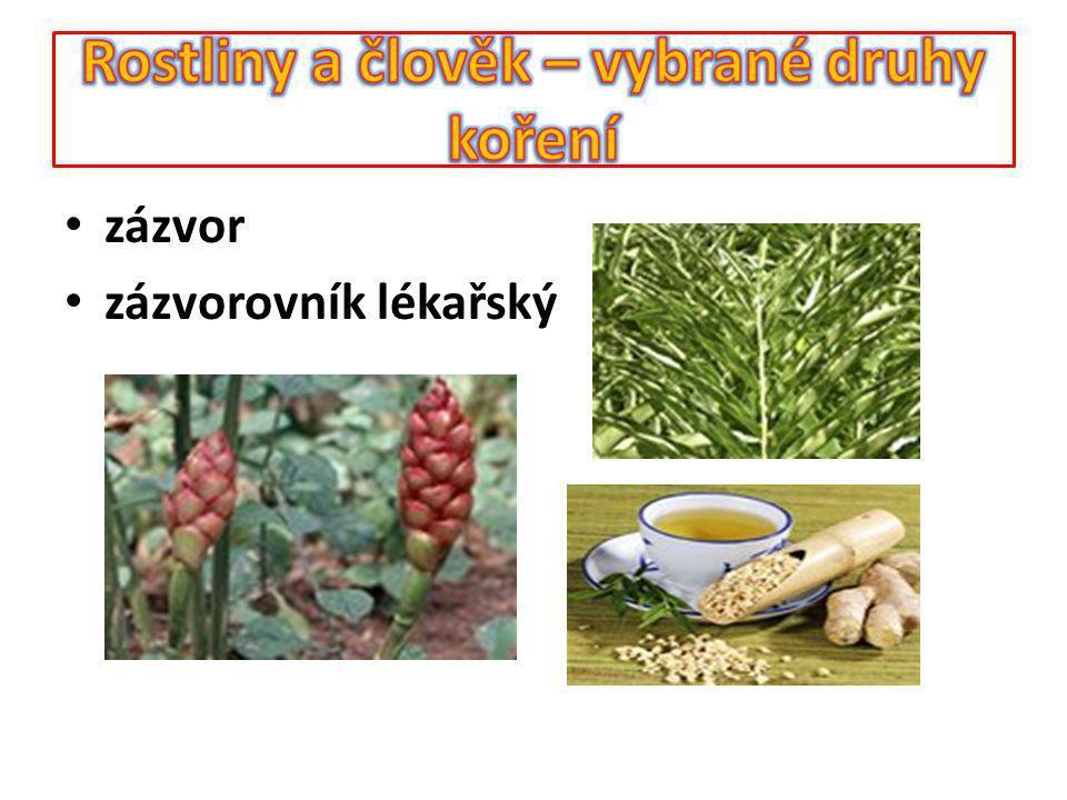 Koření – šafrán Rostlina poskytující koření – šafrán setý Využívaná část – blizny z květu