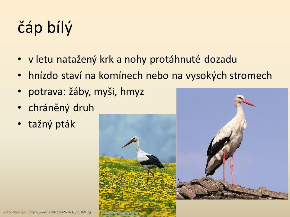čáp bílý v letu natažený krk a nohy protáhnuté dozadu hnízdo staví na komínech nebo na vysokých stromech potrava: žáby, myši, hmyz chráněný druh tažný