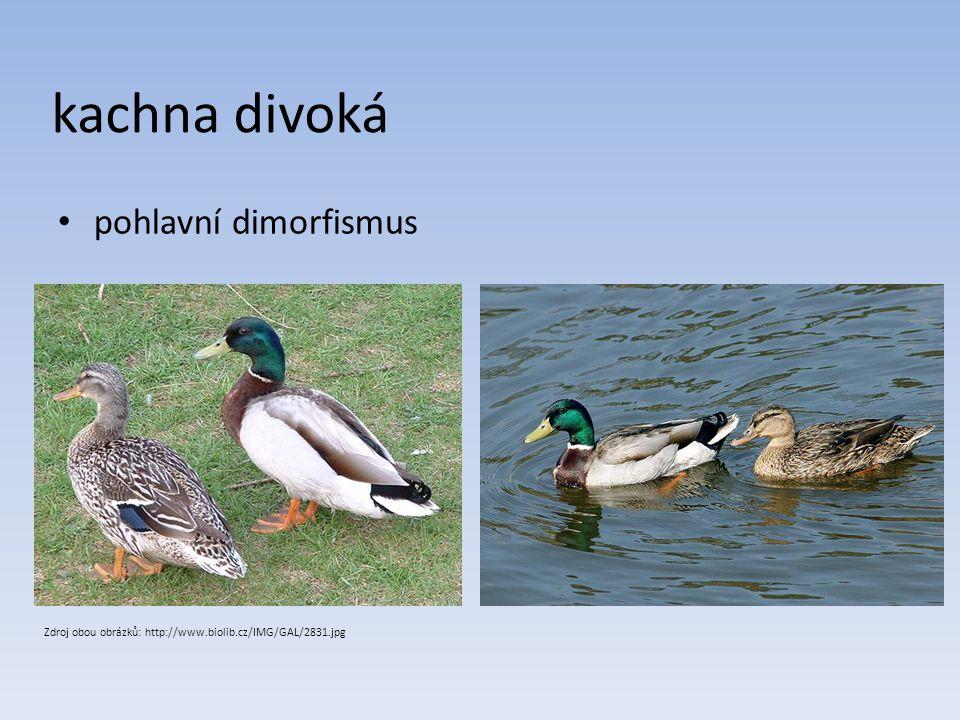 kachna divoká pohlavní dimorfismus Zdroj obou obrázků: http://www.biolib.cz/IMG/GAL/2831.jpg
