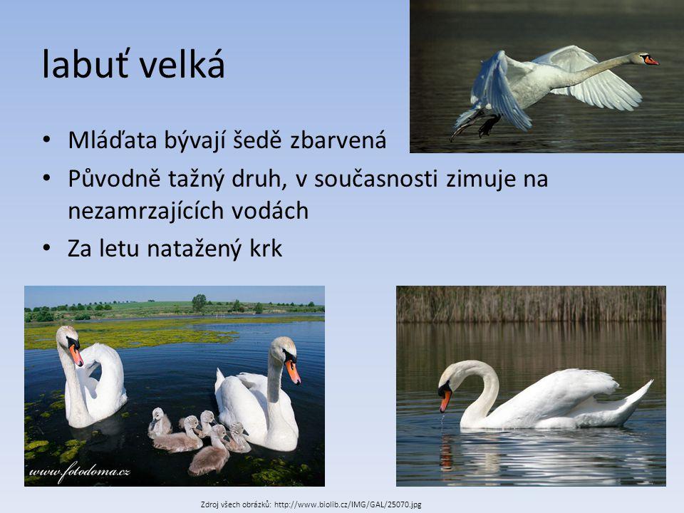 labuť velká Mláďata bývají šedě zbarvená Původně tažný druh, v současnosti zimuje na nezamrzajících vodách Za letu natažený krk Zdroj všech obrázků: h