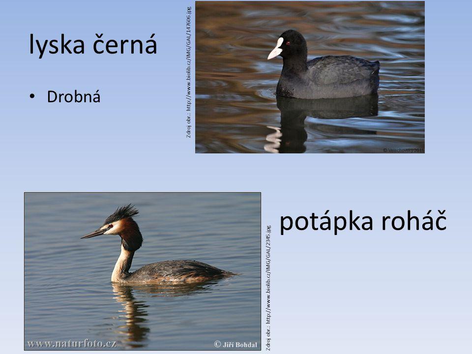 lyska černá Drobná Zdroj obr.: http://www.biolib.cz/IMG/GAL/147606.jpg potápka roháč Zdroj obr.: http://www.biolib.cz/IMG/GAL/2345.jpg