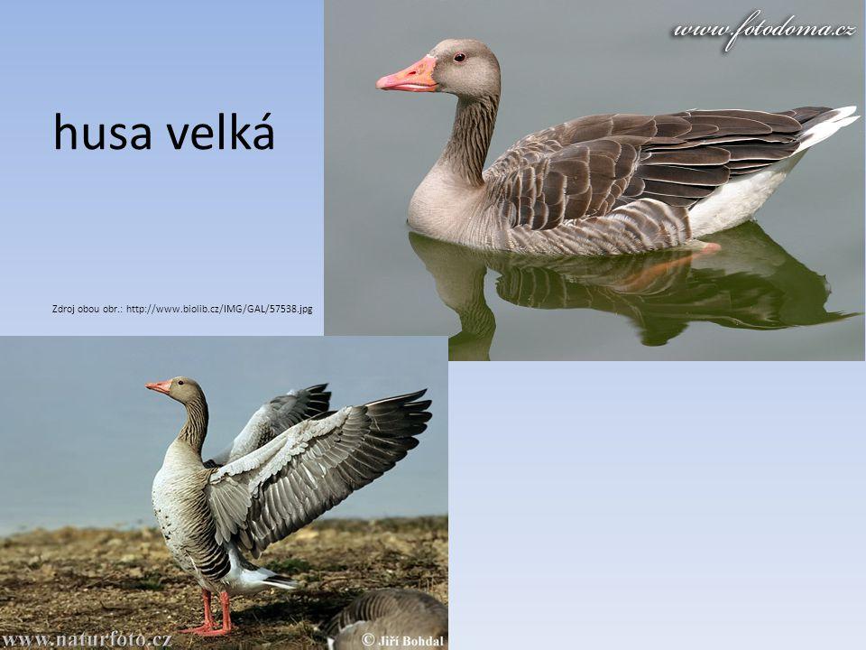 husa velká Zdroj obou obr.: http://www.biolib.cz/IMG/GAL/57538.jpg