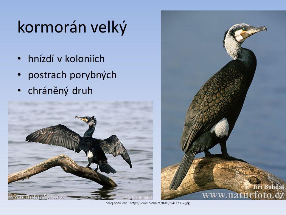kormorán velký hnízdí v koloniích postrach porybných chráněný druh Zdroj obou obr.: http://www.biolib.cz/IMG/GAL/2332.jpg