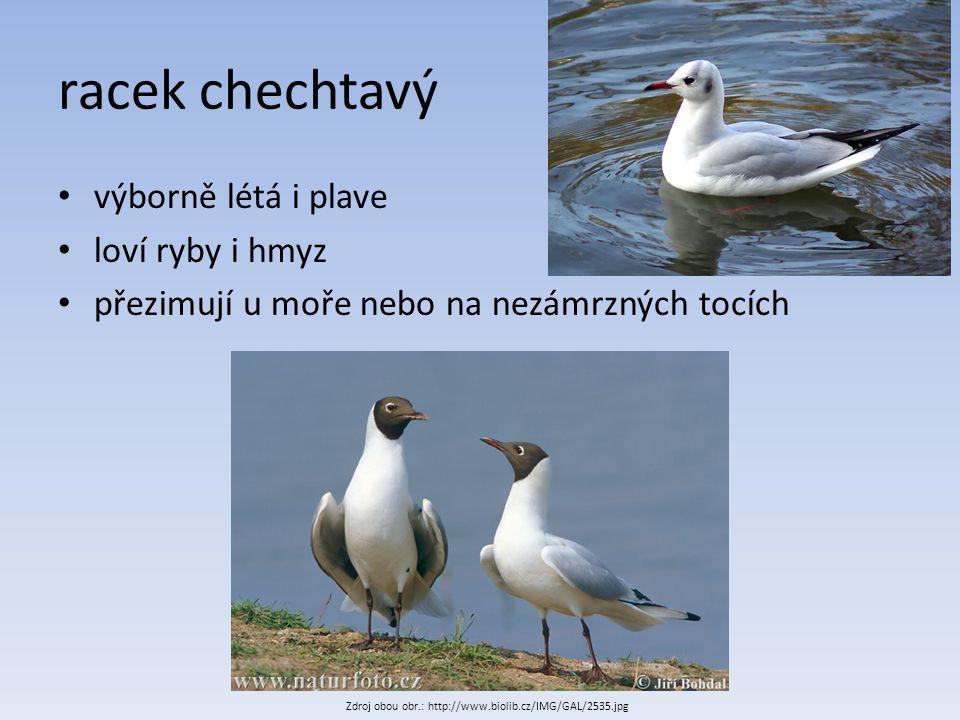 racek chechtavý výborně létá i plave loví ryby i hmyz přezimují u moře nebo na nezámrzných tocích Zdroj obou obr.: http://www.biolib.cz/IMG/GAL/2535.j