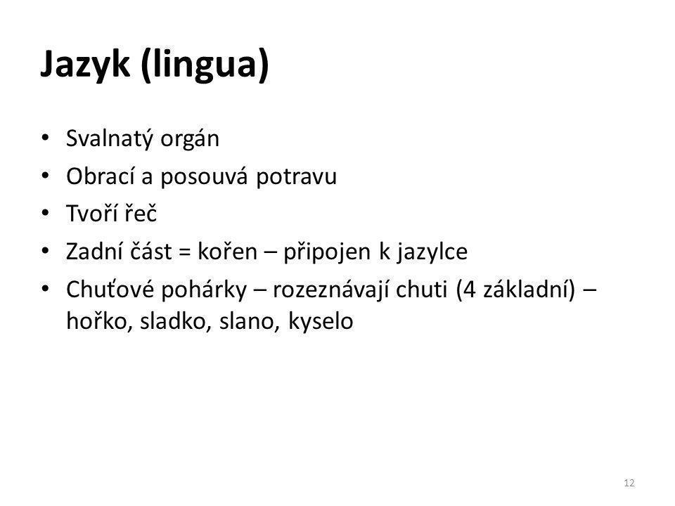 Jazyk (lingua) Svalnatý orgán Obrací a posouvá potravu Tvoří řeč Zadní část = kořen – připojen k jazylce Chuťové pohárky – rozeznávají chuti (4 základ