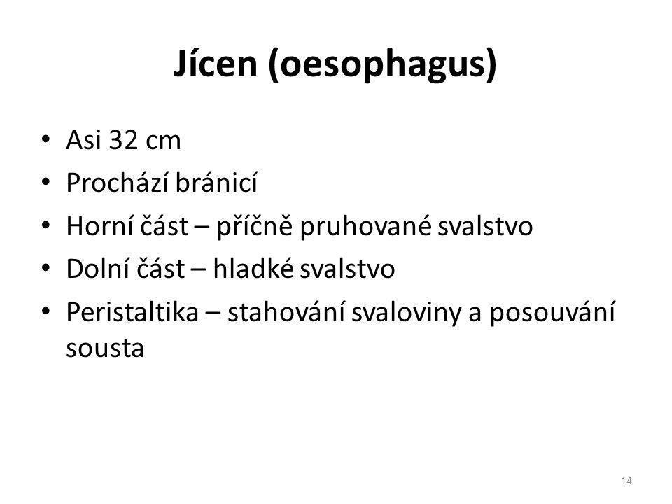 Jícen (oesophagus) Asi 32 cm Prochází bránicí Horní část – příčně pruhované svalstvo Dolní část – hladké svalstvo Peristaltika – stahování svaloviny a posouvání sousta 14