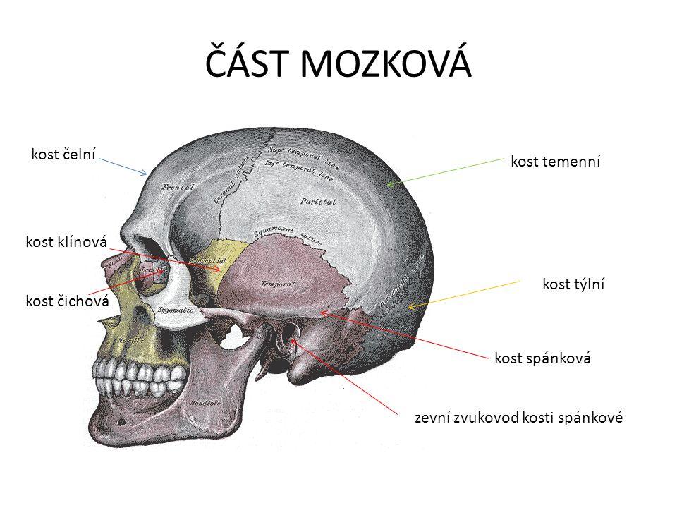 KOSTI LEBKY ČÁST OBLIČEJOVÁ:  2 kosti horní čelisti  2 kosti lícní  2 kosti patrové  2 kosti nosní  2 kosti slzní  dolní čelist  jazylka (podpírá jazyk, upíná se na ni hrtan) ČÁST MOZKOVÁ: 2 kosti temenní 2 kosti spánkové 1 kost týlní 1 kost čelní 1 kost klínová 1 kost čichová 1 kost radličná