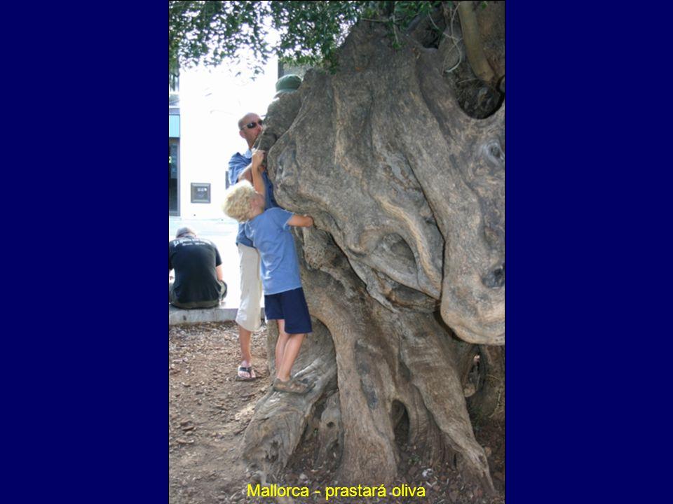 Mallorca - prastará oliva