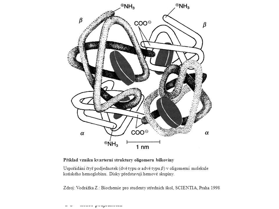 Příklad vzniku kvarterní struktury oligomeru bílkoviny Uspořádání čtyř podjednotek (dvě typu  advě typu  ) v oligomerní molekule koňského hemoglobin