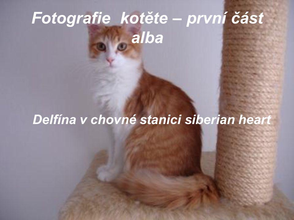 Fotografie kotěte – první část alba Delfína v chovné stanici siberian heart