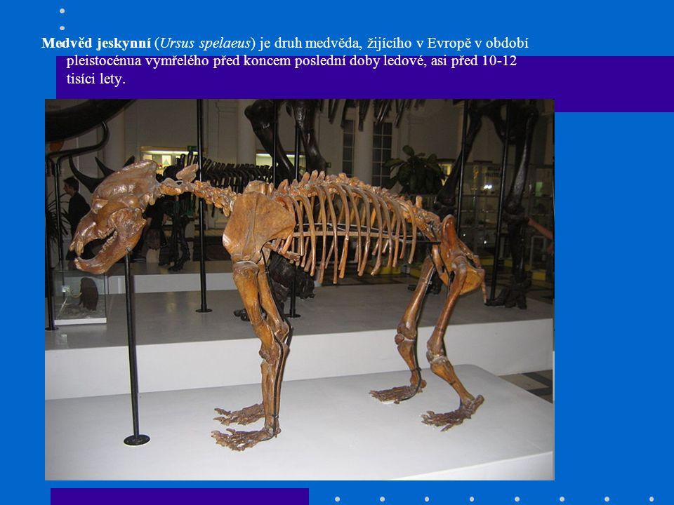 Medvěd jeskynní (Ursus spelaeus) je druh medvěda, žijícího v Evropě v období pleistocénua vymřelého před koncem poslední doby ledové, asi před 10-12 t