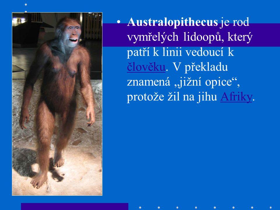 """Australopithecus je rod vymřelých lidoopů, který patří k linii vedoucí k člověku. V překladu znamená """"jižní opice"""", protože žil na jihu Afriky. člověk"""