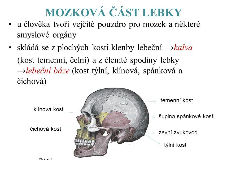 MOZKOVÁ ČÁST LEBKY u člověka tvoří vejčité pouzdro pro mozek a některé smyslové orgány skládá se z plochých kostí klenby lebeční →kalva (kost temenní,