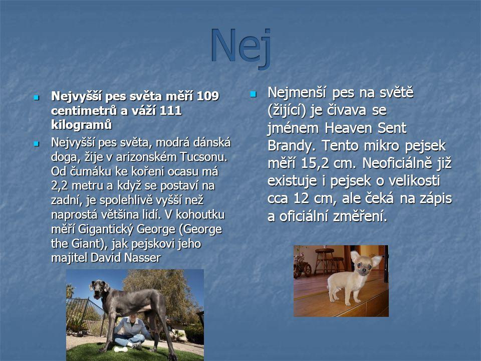 Nejvyšší pes světa měří 109 centimetrů a váží 111 kilogramů Nejvyšší pes světa měří 109 centimetrů a váží 111 kilogramů Nejvyšší pes světa, modrá dánská doga, žije v arizonském Tucsonu.