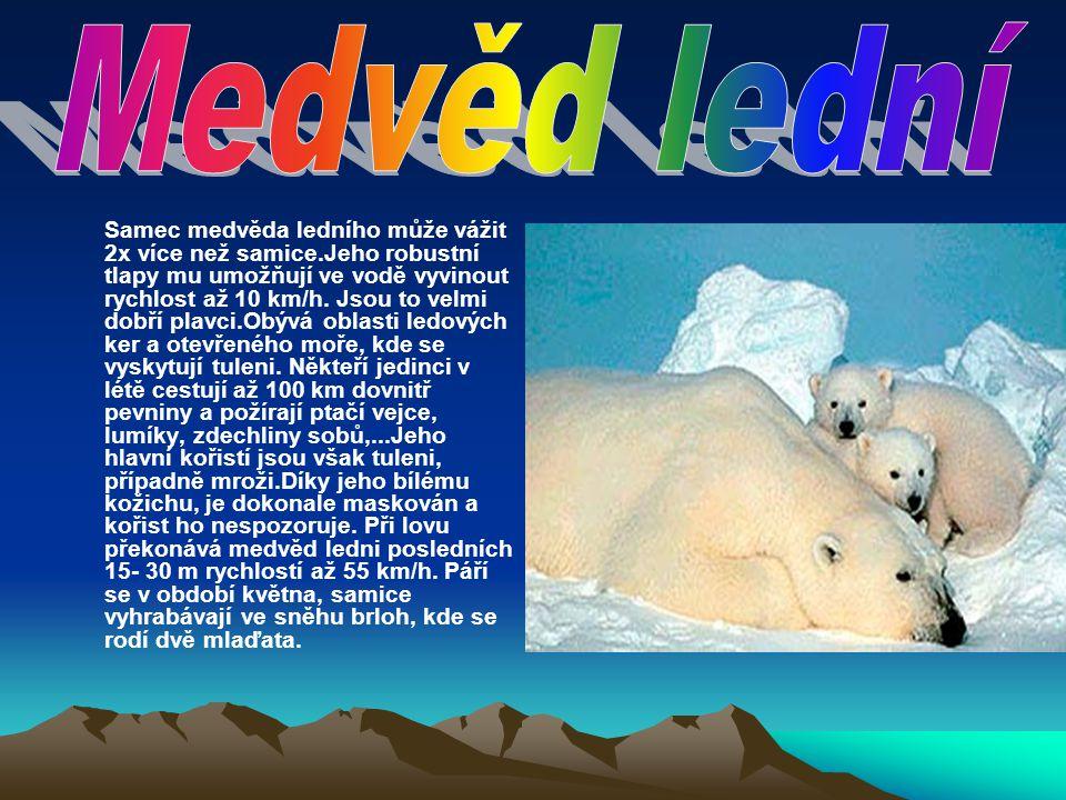 Samec medvěda ledního může vážit 2x více než samice.Jeho robustní tlapy mu umožňují ve vodě vyvinout rychlost až 10 km/h. Jsou to velmi dobří plavci.O