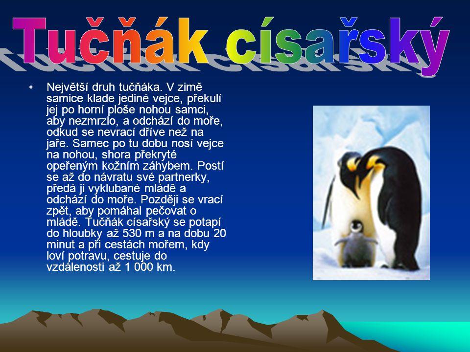Největší druh tučňáka. V zimě samice klade jediné vejce, překulí jej po horní ploše nohou samci, aby nezmrzlo, a odchází do moře, odkud se nevrací dří